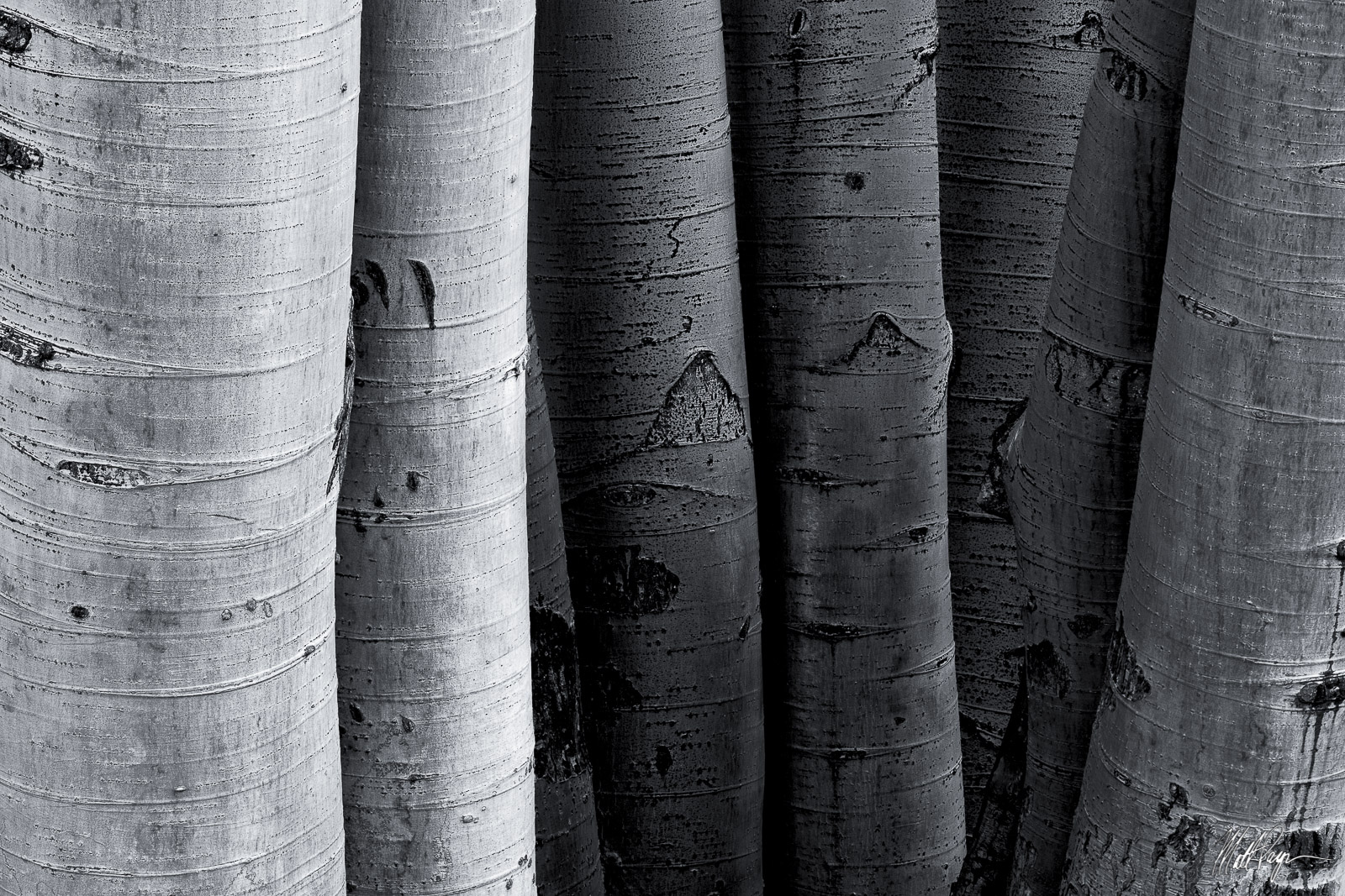 8, Aspen Trees, Autumn, Black and White, Colorado, Fall, Texture, cluster, detail, side-by-side, West Elk Mountains, photo