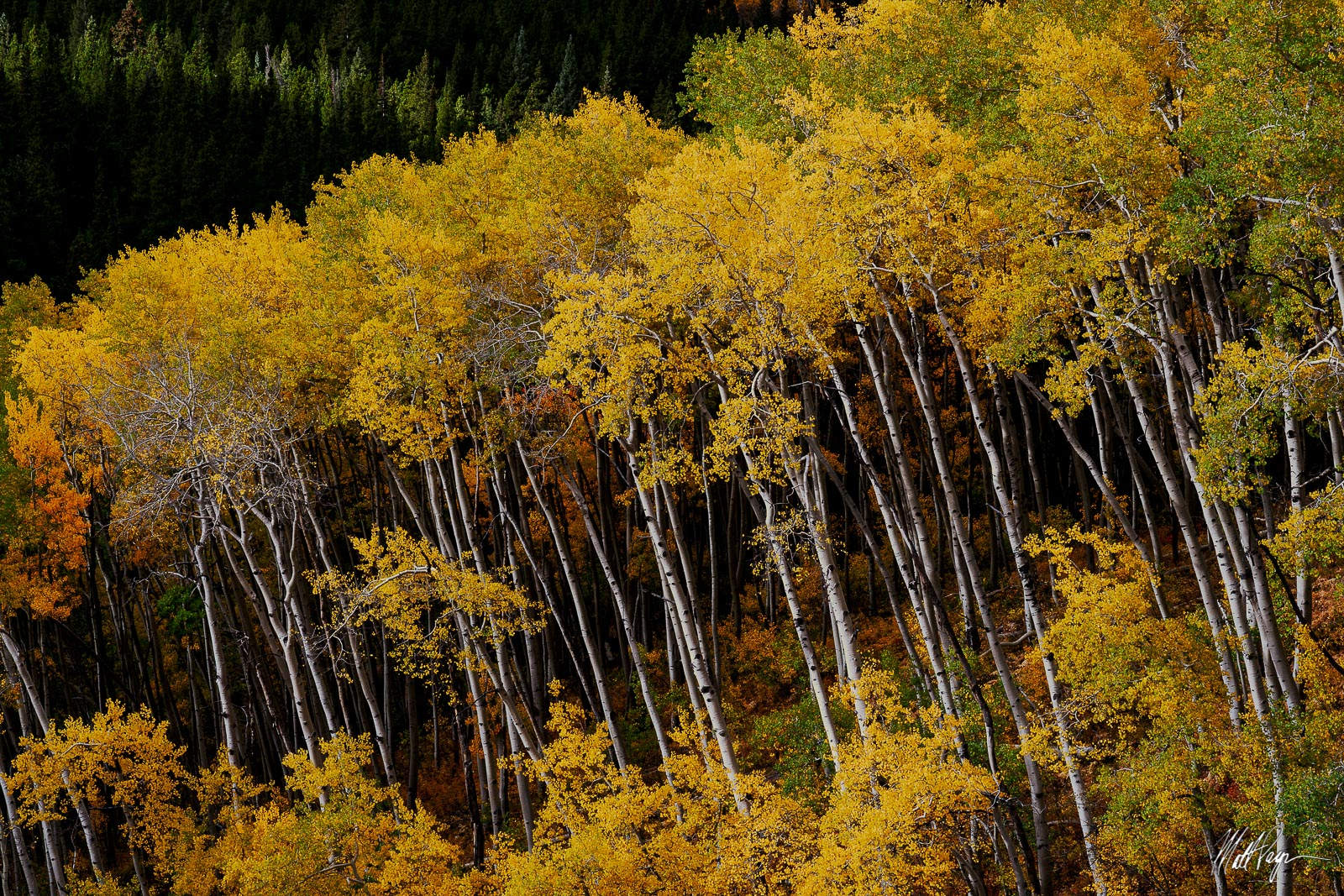 Aspen Trees, Autumn, Colorado, Crested Butte, photo