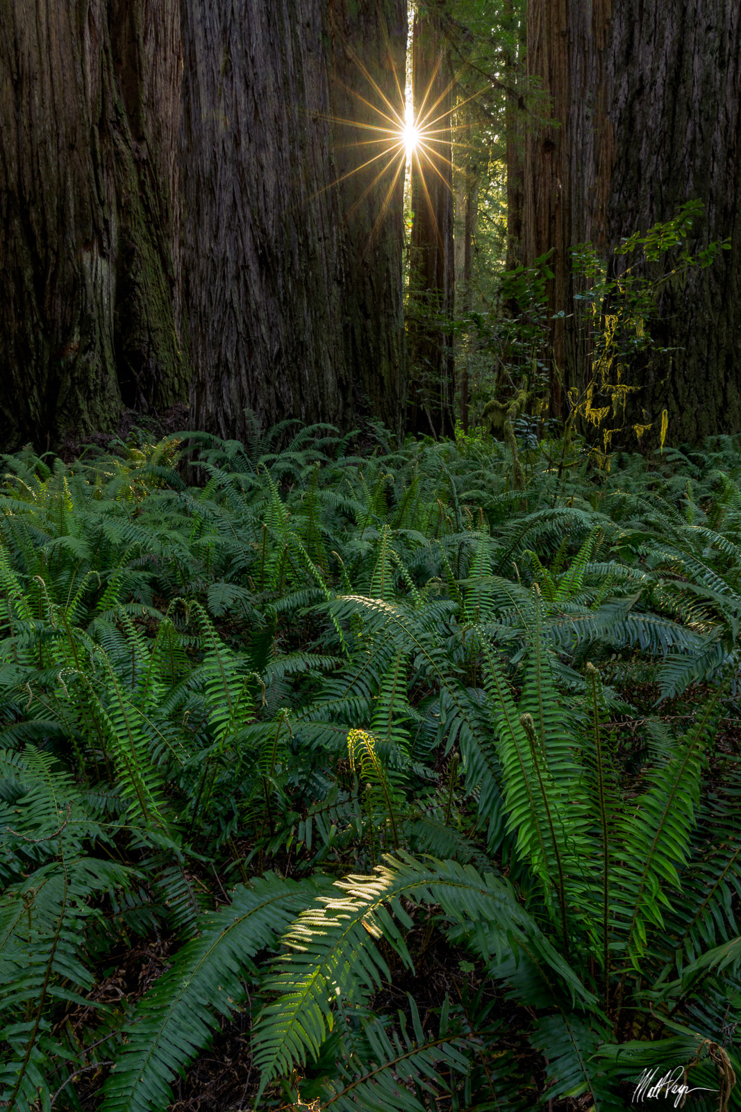 On my very first day in the Redwoods, I discovered this interesting scene of ferns in front of massive Redwoods trees. The setting...