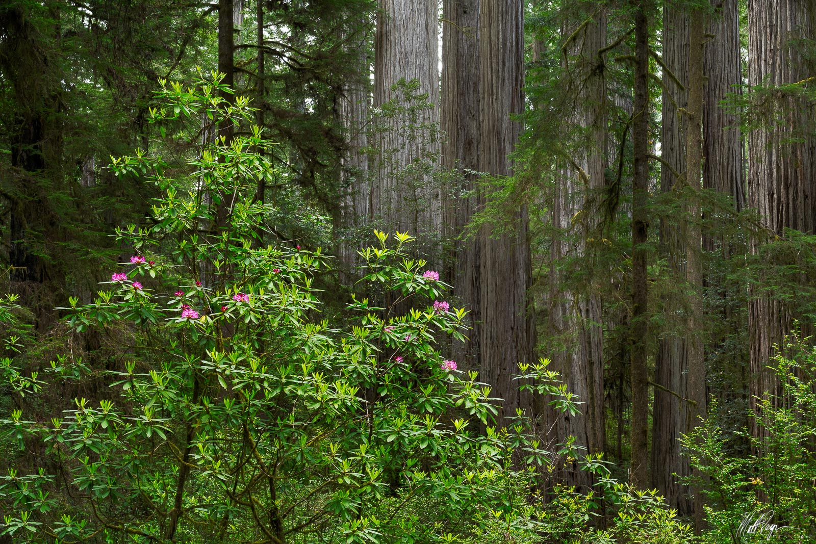My friends Michael Bollino and Kane Engelbert and I wandered about the Redwoods forests in California in search of interesting...