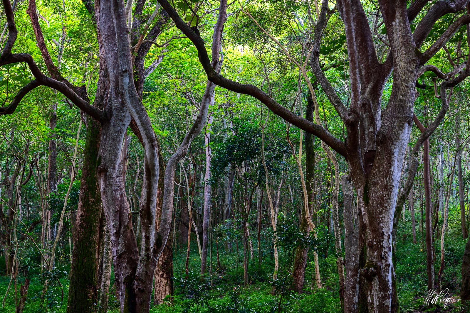 Forest, Hawaii, Jungle, Kauai, Moss, Waimea Canyon, Wilderness, canopy, textures, trees, photo