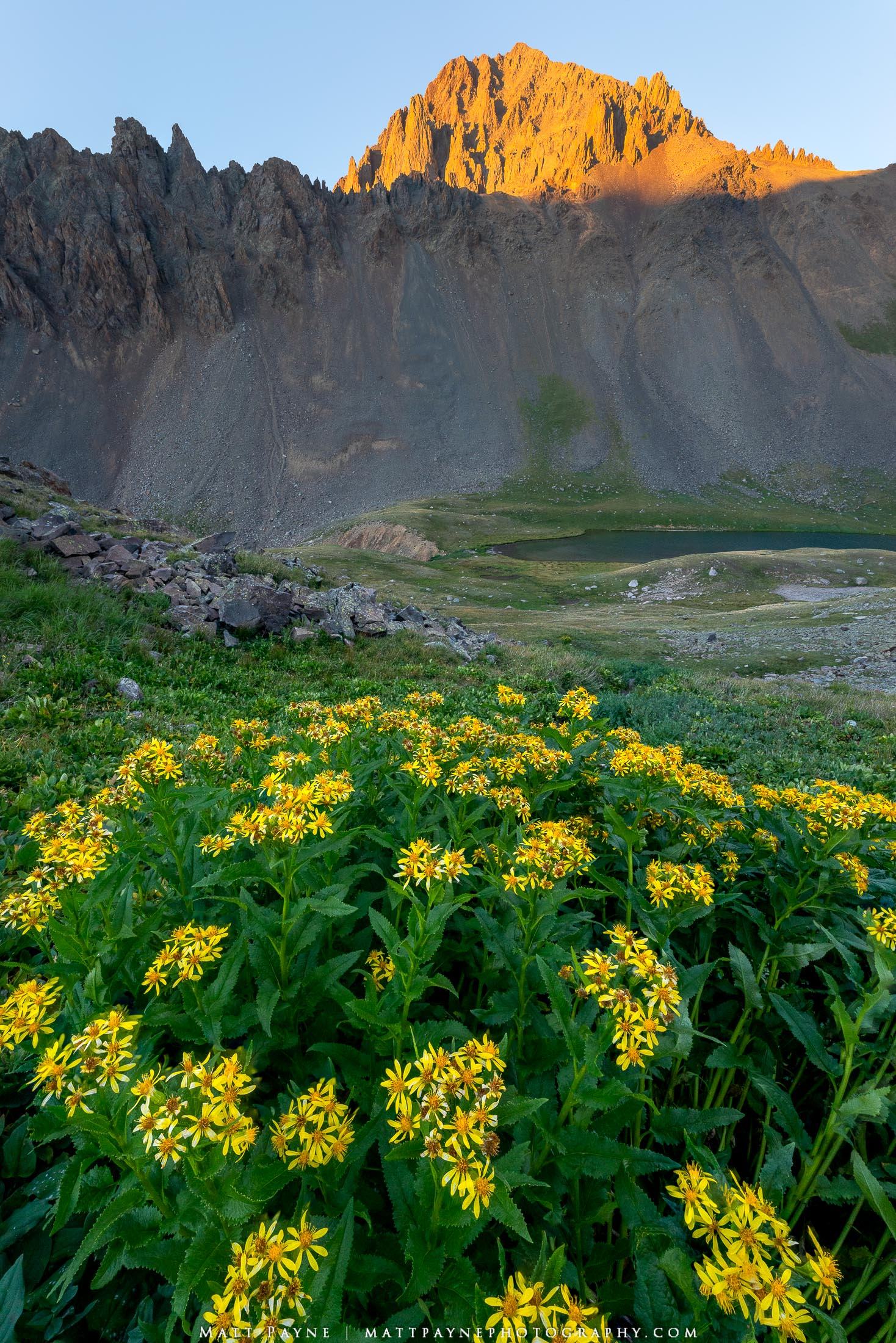 Colorado, Lambstongue Ragwort, Mount Sneffels, Wilderness, Wildflowers, Yellow, Fourteener, photo