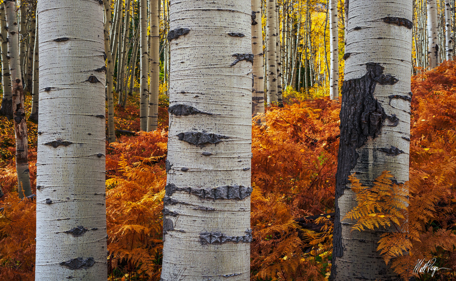 Aspen Trees, Autumn, Bark, Colorado, Fall, Fall Colors, Ferns, Landscape, Rust, Three, West Elk Mountains, photo