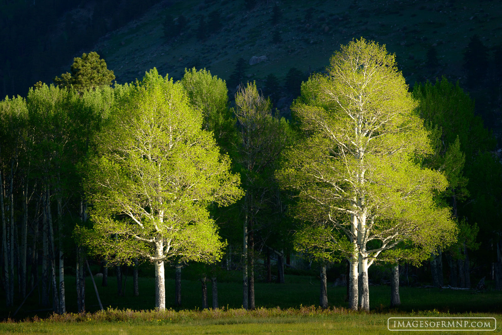 2014, Colorado, USA, america, aspen, green, horseshoe park, june, mysterious, plant, rmnp, rocky, rocky mountain national park, spring, tree, united states of america, photo