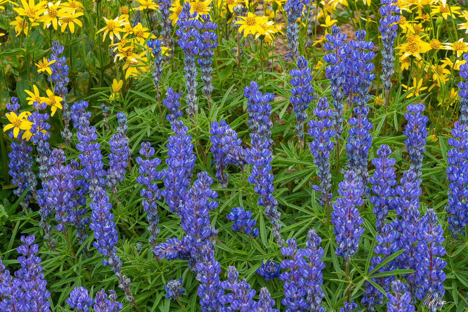 This cluster of flowers showcases one of my favorite purple wildflowers found in the high mountains of Colorado - Silvery Lupine...