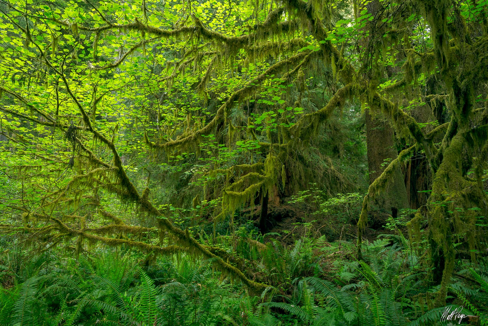 One of the most marvelous trees found within the Redwoods of California is the maple tree. The lush green leaves of the maple...