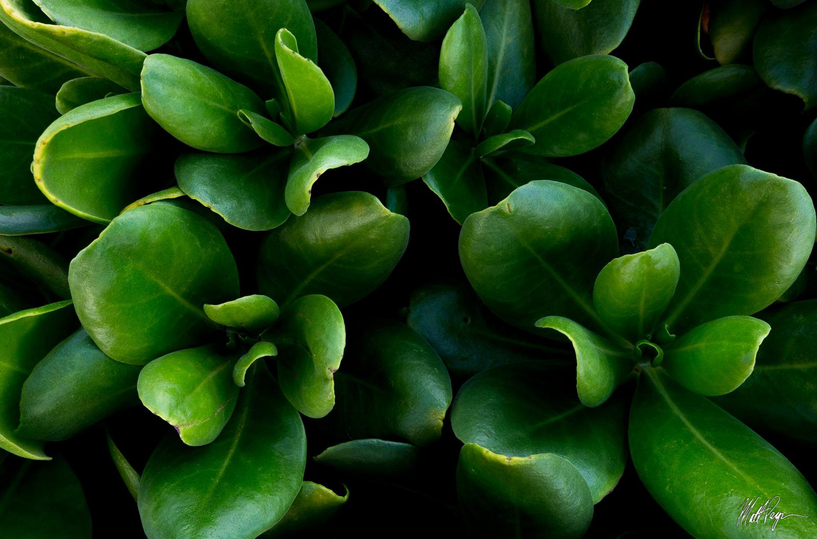 Kauai, Hawaii, Naupaka, foliage, intimate landscape, legend, Poipu, plant, photo