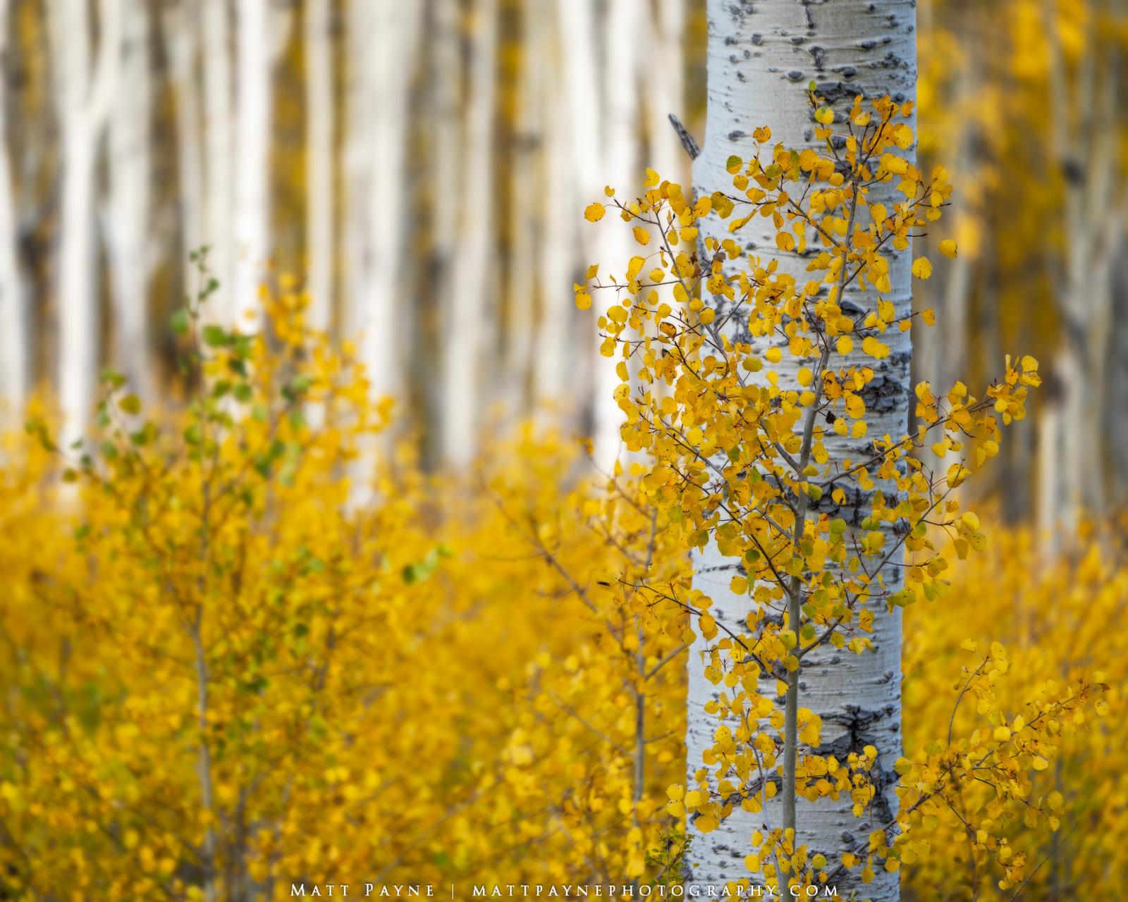 Aspen Trees, Autumn, Colorado, Fall, Fall Colors, Foliage, Landscape, aspen leaves, colorful, landscape photography, photo