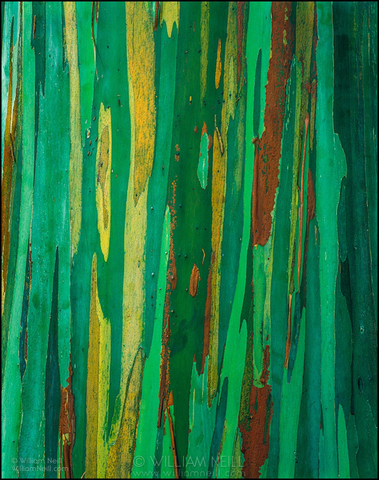 Painted bark eucalyptus, the Hana Coast, Island of Maui, Hawaii 1995