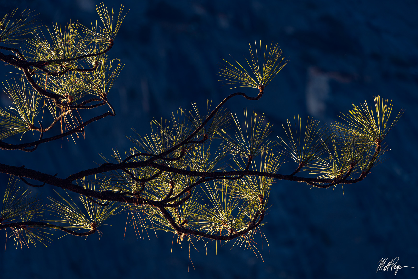 Pine Needles, Yosemite National Park, photo