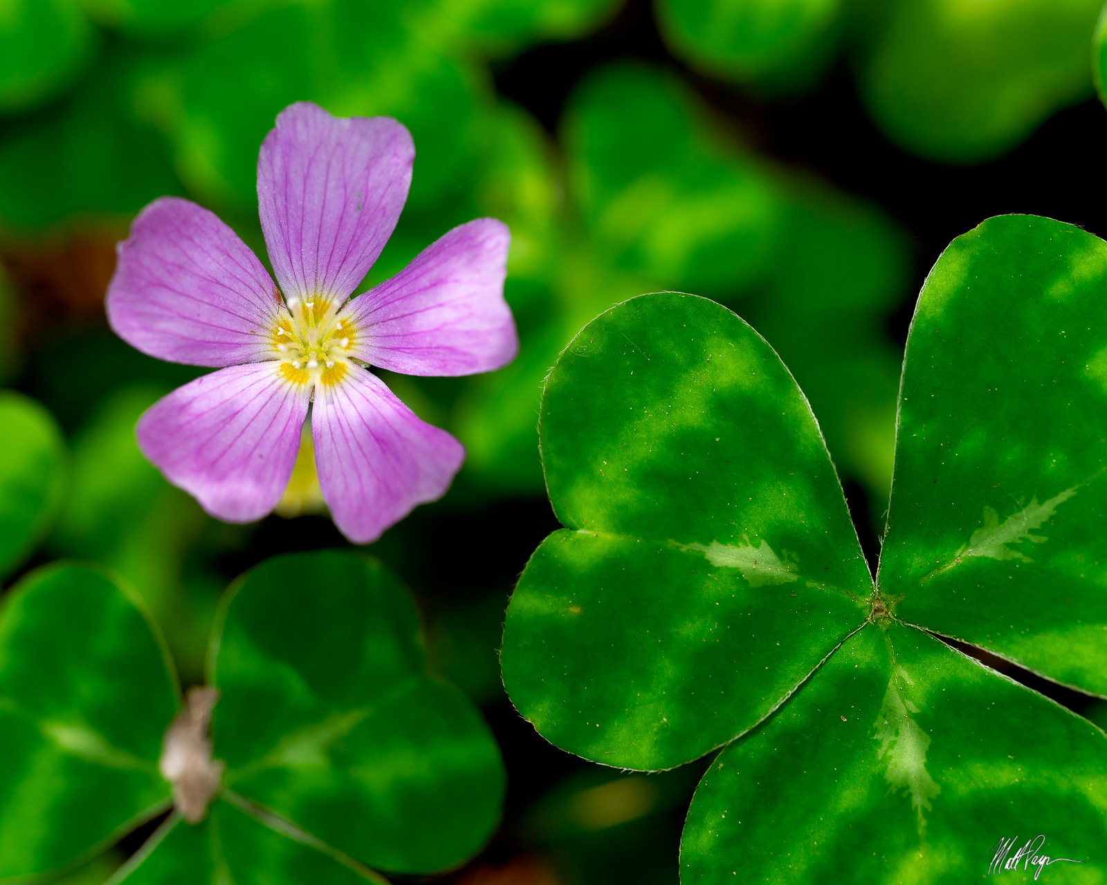 Pink Oxalis or Wood Sorrel is one of the most awesome plants to see and photograph in the California Redwoods. When the sun is...