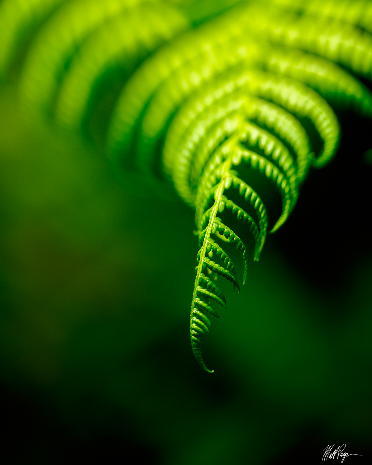 One of the most elegant subjects to photograph in the Redwoods of California are the ubiquitous ferns found all over the understory...