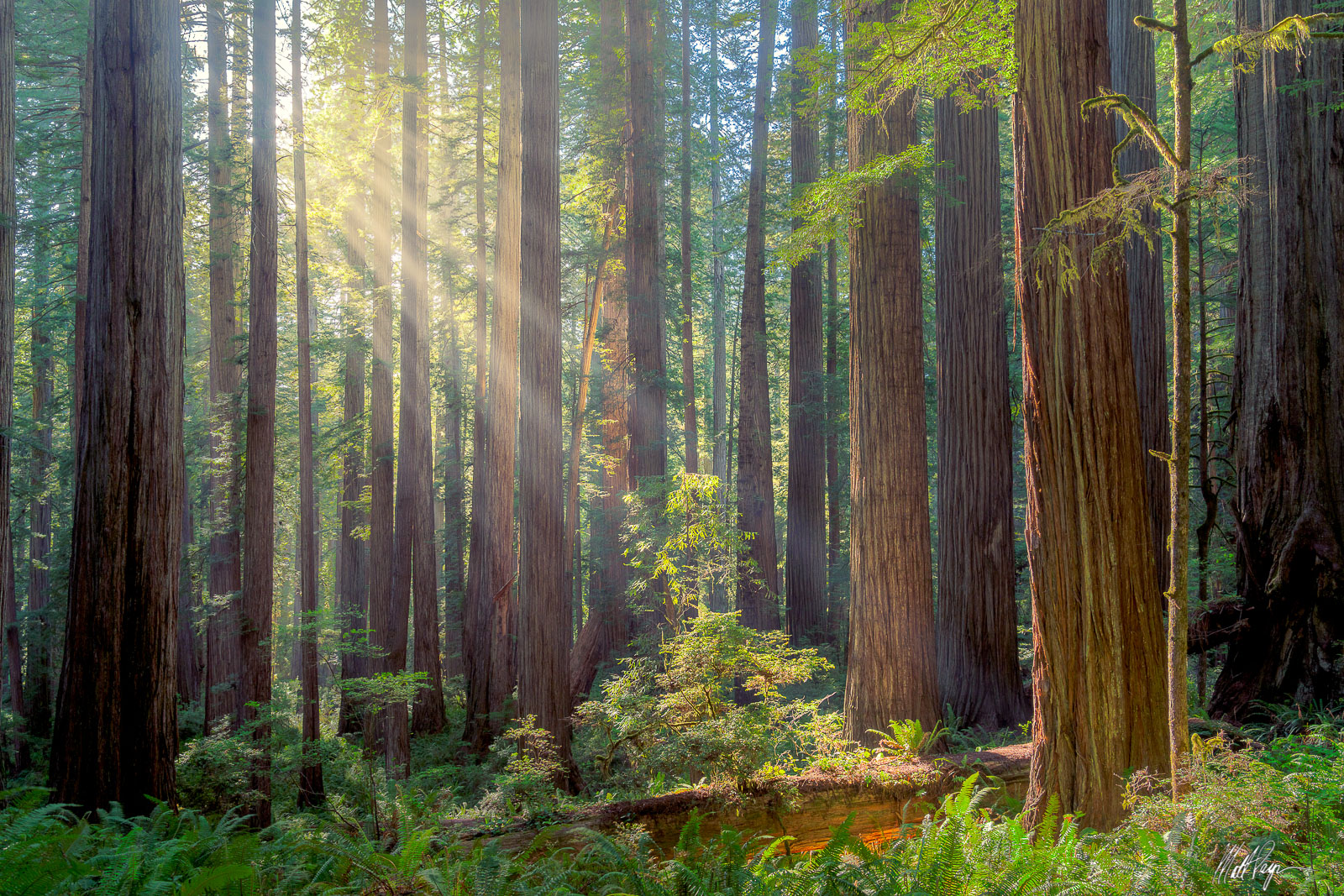Afternoon light shines through the tall canopy of the Redwood forest in California.  Photo © copyright by Matt Payne.