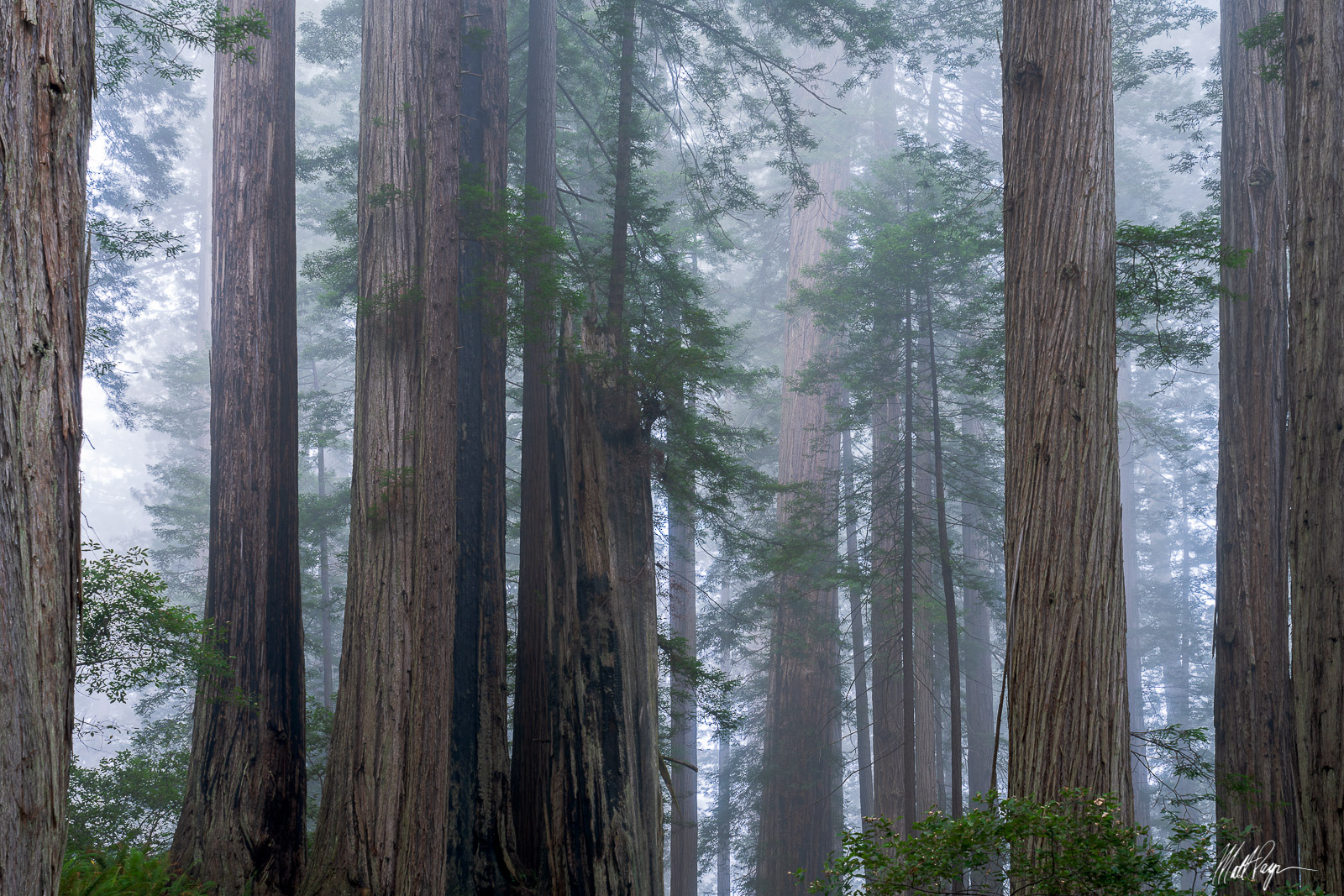 Light fog found early in the morning creates magical conditions in the Redwoods forest of California. As light filters into the...