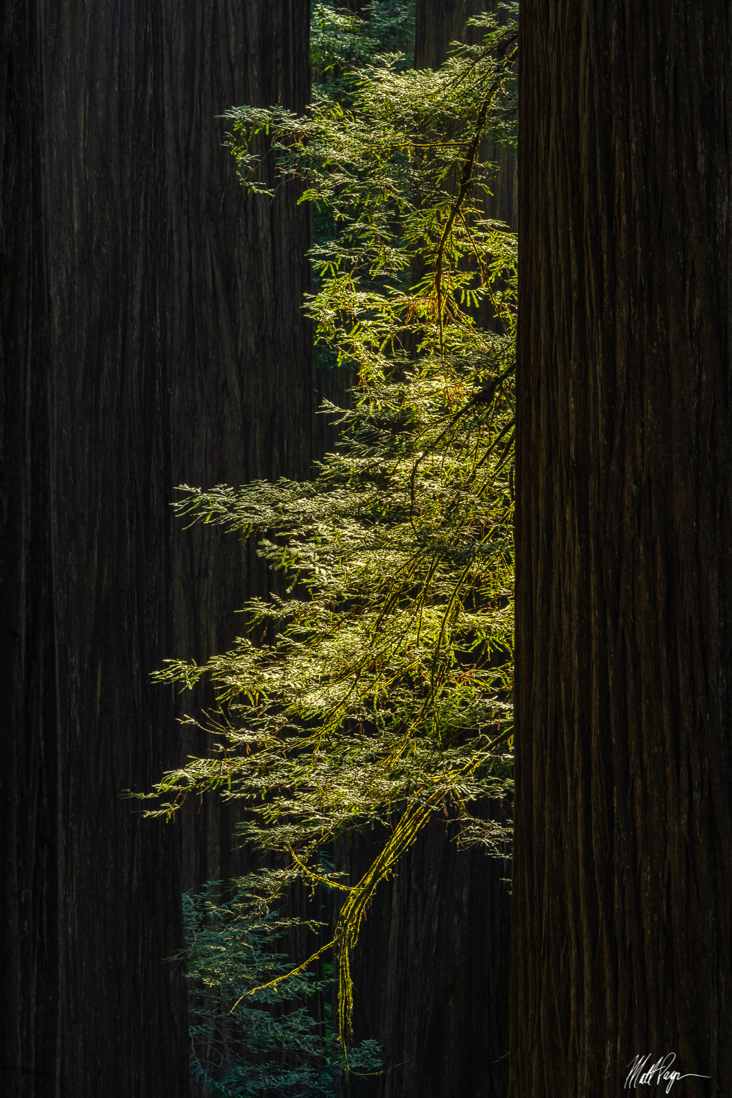 Discovering smaller scenes like this one in the chaotic and unruly Redwoods forests of California are a real treat for a nature...
