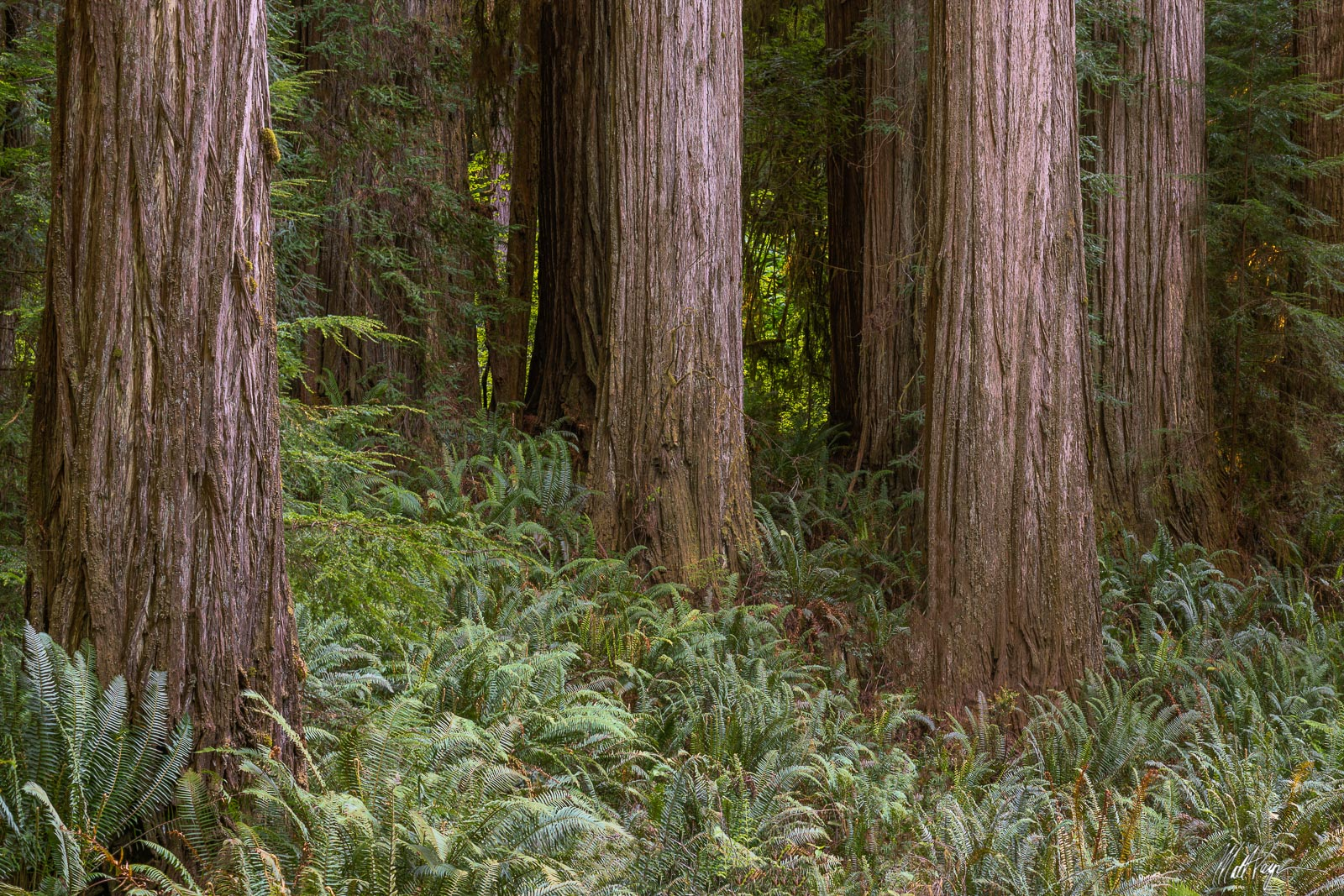 It may seem easy enough, but finding and composing a forest scene this simplistic and lacking in chaos in the Redwoods of California...