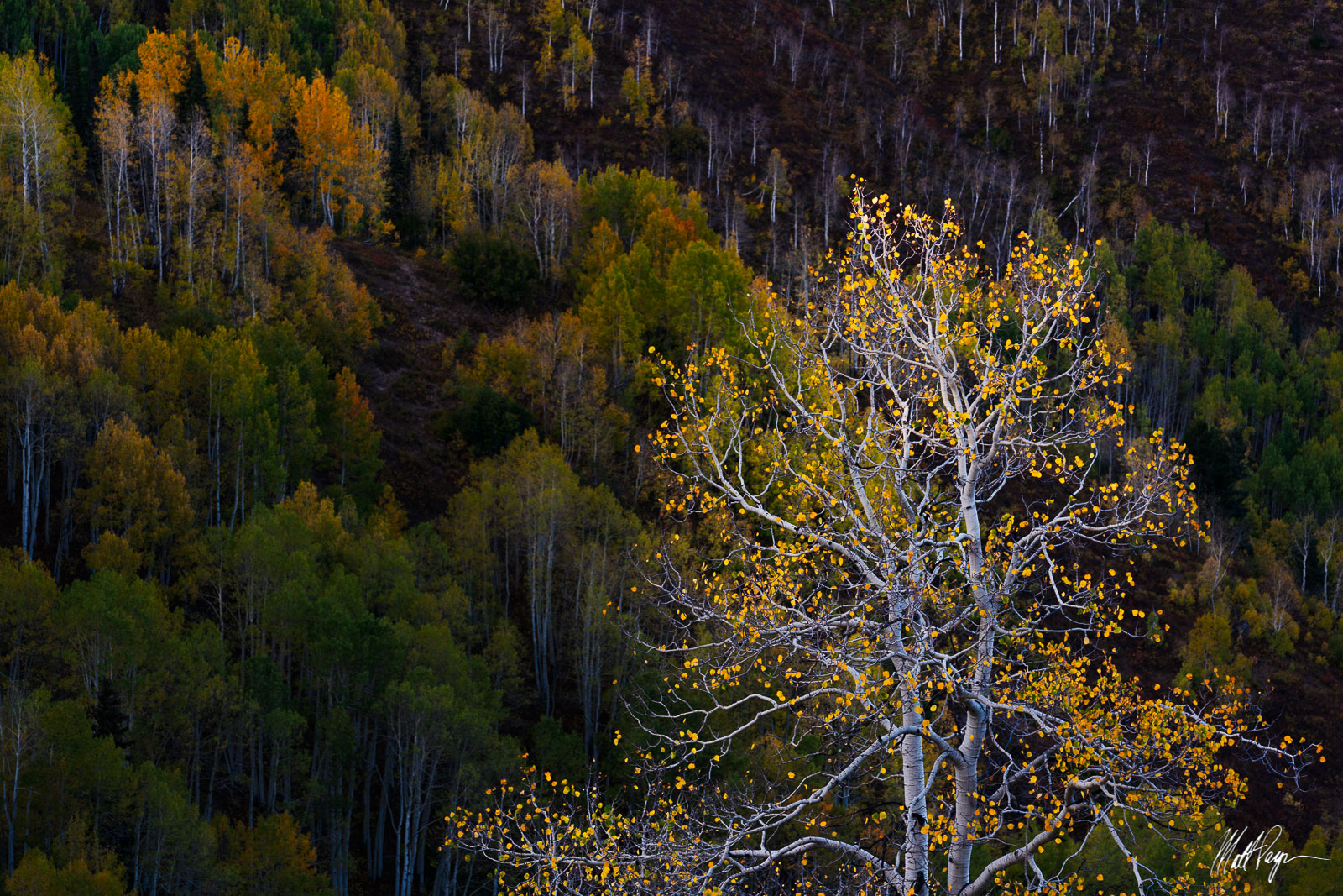 Aspen Tree, Autumn, Carbondale, Colorado, Fall, Fall Colors, Intimate Landscape, McClure Pass, Sunset, gnarled, beautiful, resiliency, photo