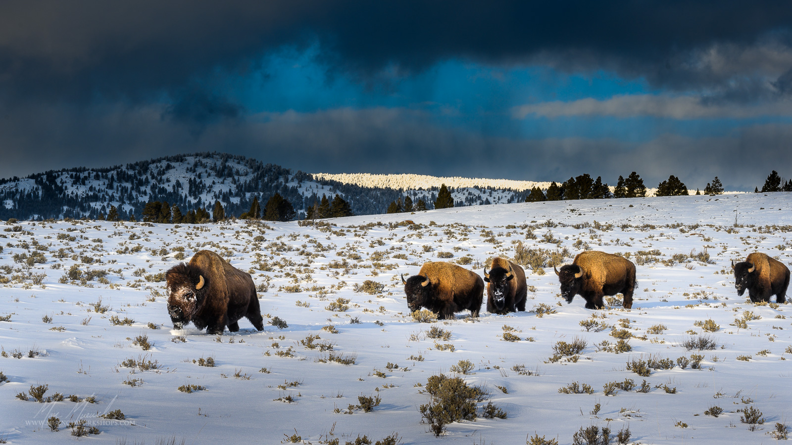 Bison, Lamar Valley, Yellowstone National Park.