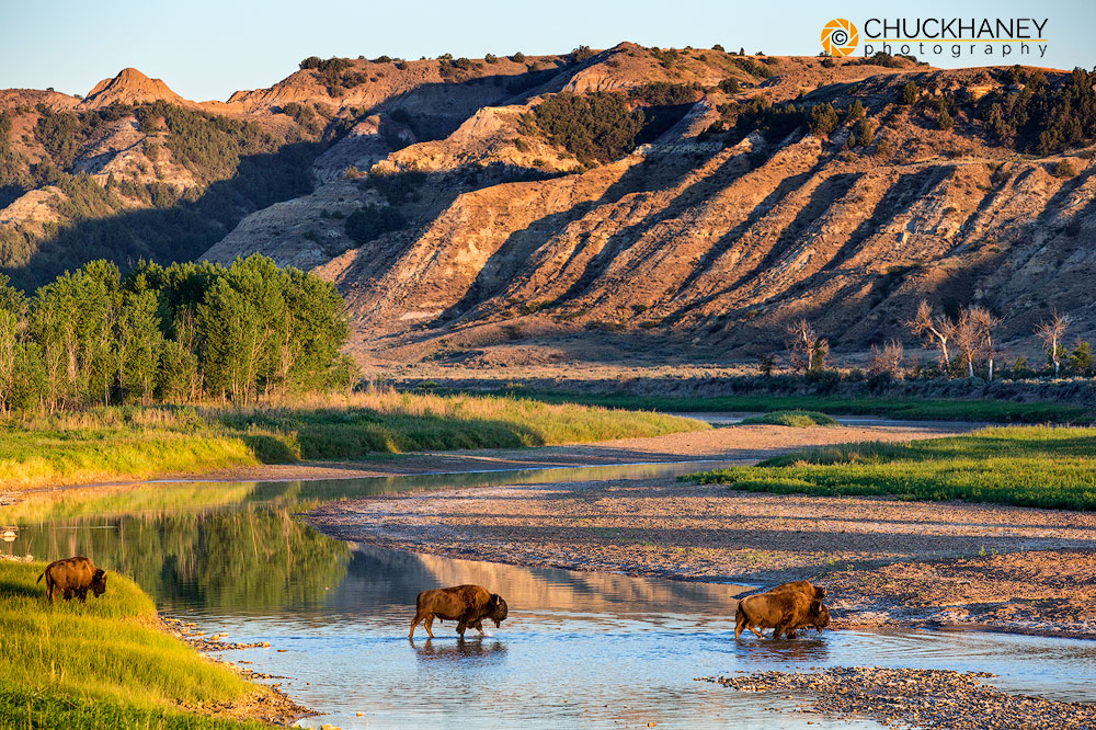 North Dakota, Theodore Roosevelt National Par, national park, summer, wildlife, bison, buffalo, herd, river crossing, Little Misouri River, river, badlands, Medora, photo