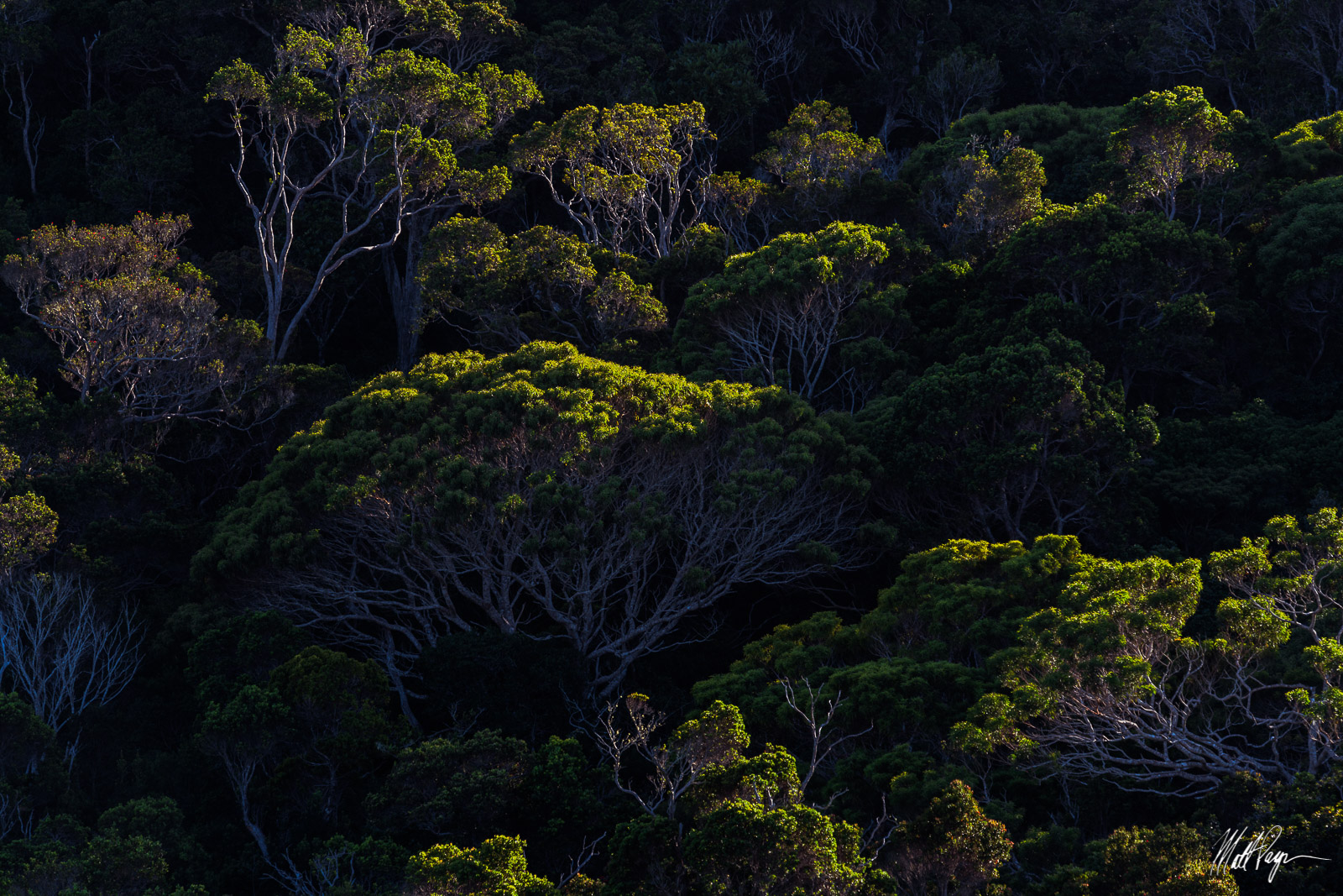 A canopy of Koa trees is illuminated by late afternoon sun as seen on a remote hike through the jungle on the Na Pali Coast...