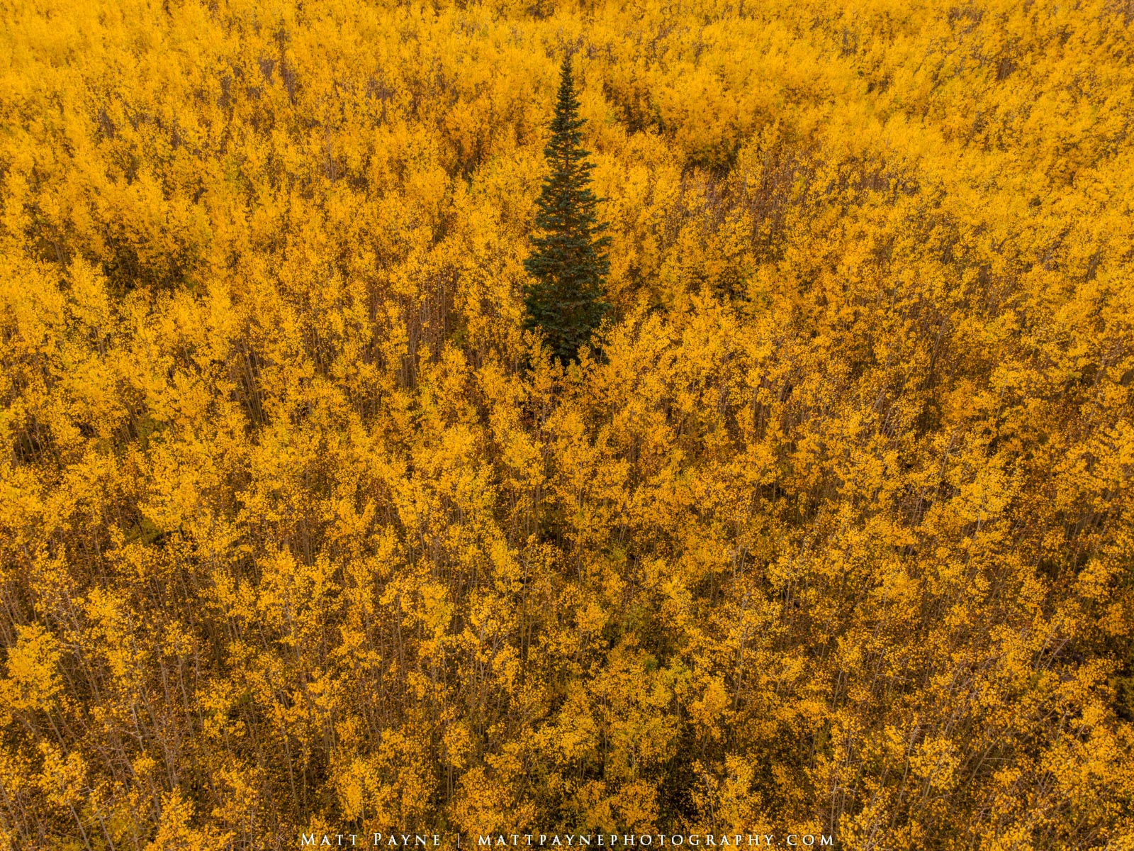 Aspen Trees, Autumn, Colorado, Ecology, Fall, Fall Colors, Forest, Landscape, Nature, aspen leaves, Landscape Photography, photo