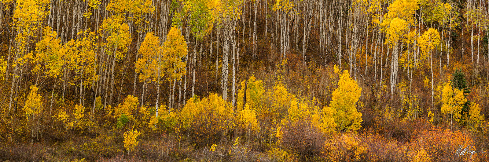Aspen Trees, Autumn, Colorado, Fall, Fall Colors, Landscape, Panorama,  colorful, warm, Landscape Photography, photo
