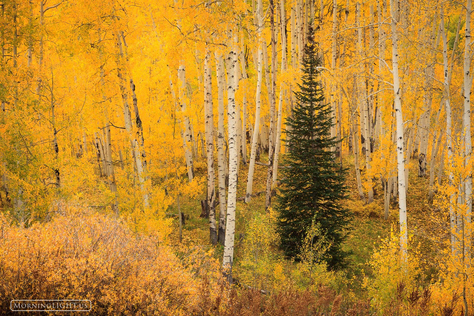2011, Colorado, USA, america, aspen, autumn, kebler pass, october, southern colorado, tree, united states of america, yellow, photo