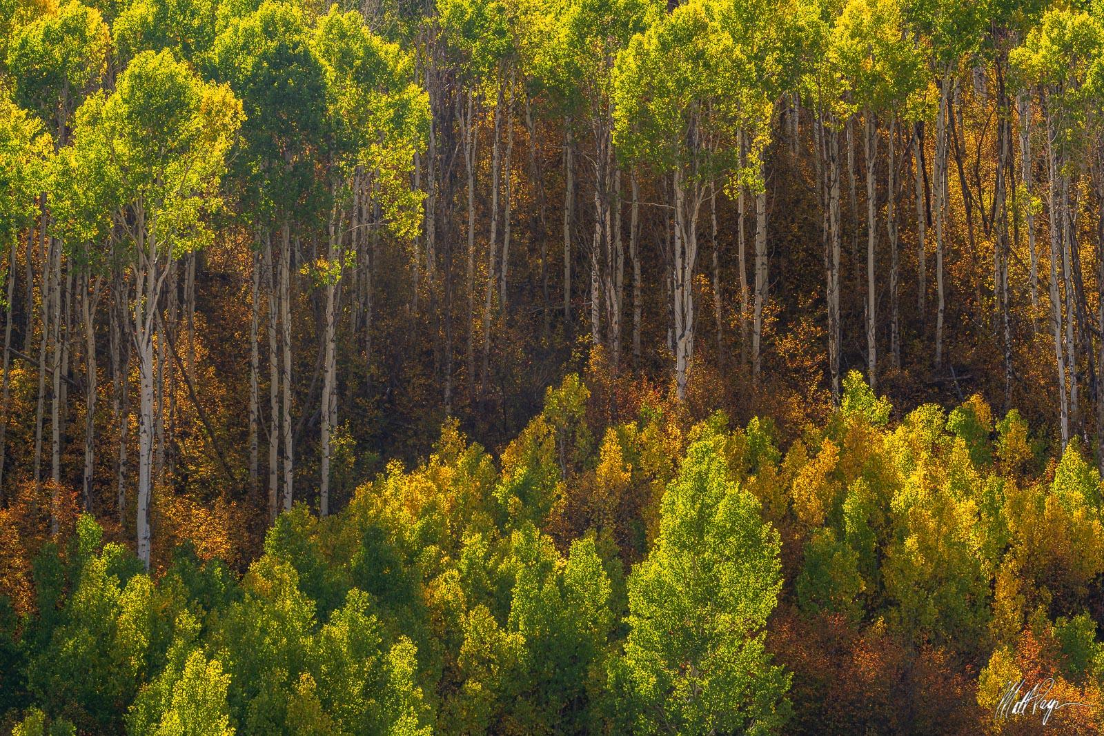 Aspen Trees, Autumn, Colorado, Fall, Colors, Glow, Landscape, Nature, seasons, warm, Scrub oak, Gunnison National Forest, foliage, photo