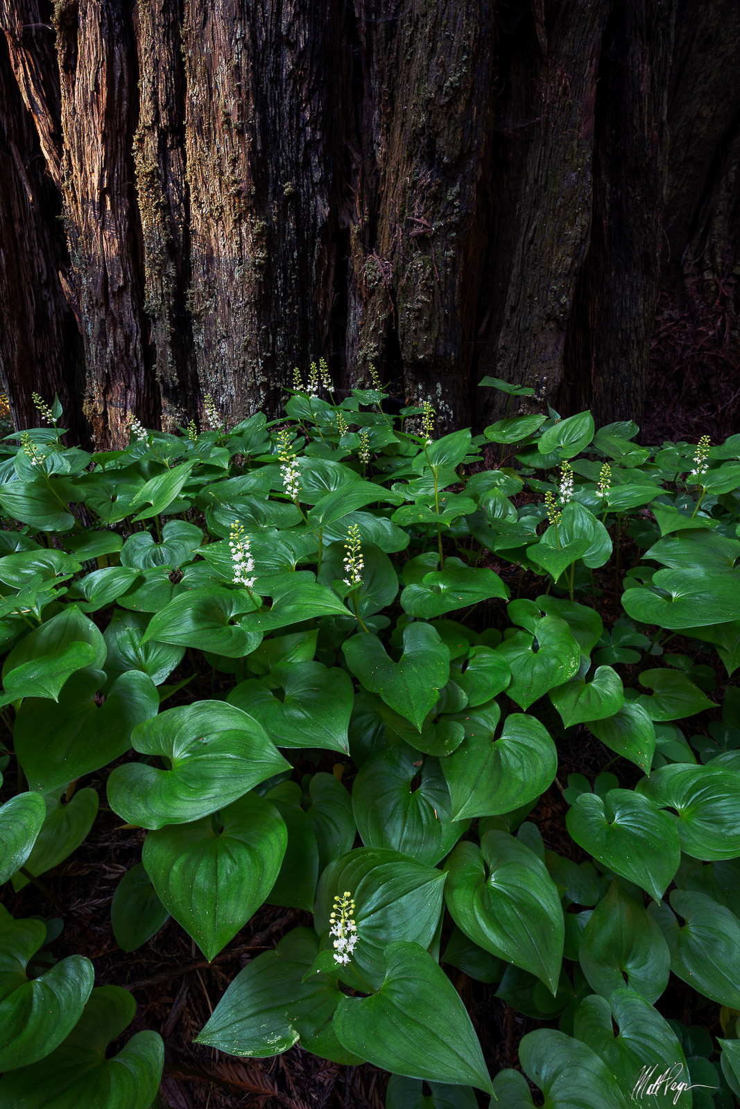 The Western Lily of the Valley is a wonderful perennial plant found on the forest floor of the Redwoods forest of California...