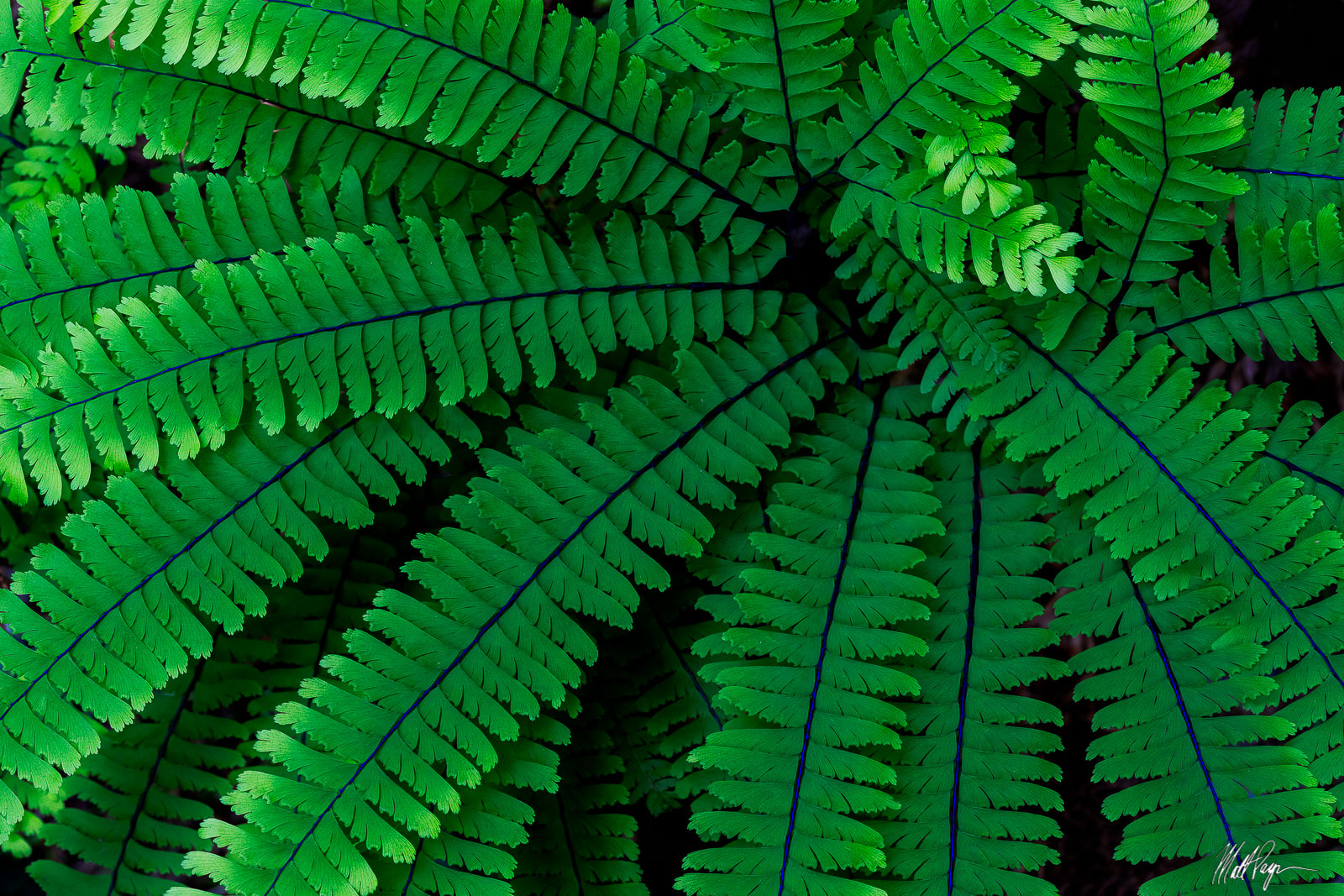 One of the plants that continually captivated me while hiking in the Redwoods forests of California was the Western Maidenhair...